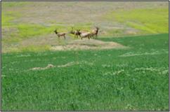 elk grazing at edge of new SDI field