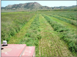 windrows of alfalfa (lucerne)/orchardgrass hay